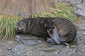 Young Antarctic furseal sleeping Elsehul South Georgia