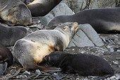 Antarctic furseals sleeping Elsehul South Georgia