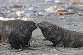 Young Antarctic furseals touching their nose Elsehul