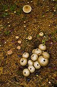 Group of puffballs in taiga undergrowth Finland