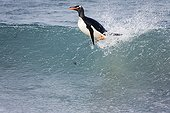 Gentoo penguin surfing Sea Lion Island Falklands
