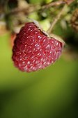 Raspberry growing in a garden Belfort France ; Cultivated Raspberry