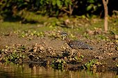 Sunbittern water edge Pantanal Mato Grosso Brazil