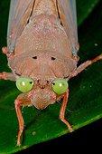 Portrait of Tropical cicada French Guiana
