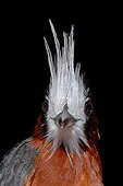 Portrait of White-plumed Antbird French Guiana