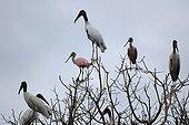 Tantales d'Amérique et Spatules rosées Pantanal Mato Grosso
