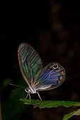 Cithaerias butterfly on leaf French Guiana