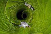 Giant Broad-headed Treefrog and Boeseman's Snouted Treefrog