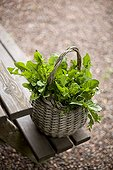 Picking dandelions in a basket in the garden