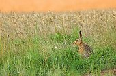 European Hare on the edge of a field Meurthe-et-Moselle