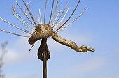 Smooth Snake rolled on a dried umbel France