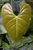 Anthurium leaf in Martinique Island