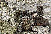 Young Antarctic fur seals in rocks Elsehul South Georgia