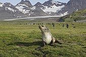 Female Antarctic fur seal in grass Salisbury plain