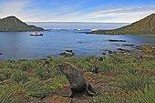 Female Antarctic fur seal near water Cooper Bay