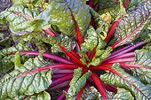 Swiss chard or in a vegetable garden