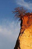 Dead oak on a cliff of Ochres of Rustrel France ; Location: Provencal Colorado
