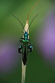 Thick-legged Flower Beetle male posed on a gramineae France