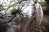 Truite arc en ciel pêchée suspendue à une branche France ; Localisation: Lac artificiel de Brennilis, situé dans les monts d'Arée. Il a servi au refroidissement de la centrale de Brennilis.
