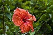 Hibiscus Peradeniya Botanical Gardens Kandy Sri Lanka