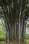 Giant Bamboos Peradeniya Botanical Gardens Kandy