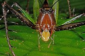 Portrait of a Grasshopper French Guiana ; The labium is yellow