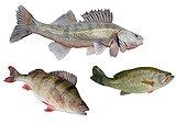 Trois poissons carnassiers d'eau douce  ; Poissons du Rhin : Sandre, Black-bass et Perche commune
