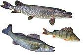 Trois poissons carnassiers d'eau douce  ; Poissons du Rhin : Sandre, Perche commune et Brochet