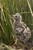Poussin de Mouette rieuse au nid dans une cariçaie France