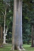 Macondo trunk Peradeniya Botanical Garden Kandy