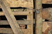 Regard d'un jeune Chimpanzé enfermé dans une cage Cameroun