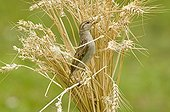House Sparrow eating in the wheat France