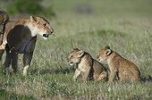 Lion threatening a Lion Cub Masai Mara Kenya