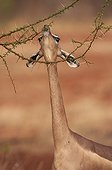 Gerenuk eating leaves from a thorny tree Tsavo East Kenya