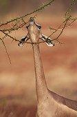 Gérénuk mangeant le feuillage d'un arbre épineux Tsavo Est