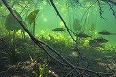 "Fry in vegetation  Lake of Jura France ; Feature: ""A fleur d'eau"""