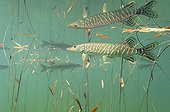 Pike and reflection in Pondweeds Lake of Jura France  ; Veolia Environnement Wildlife Photographer of the Year 2009<br/>The Underwater World - Winner<br/>Pike reflection