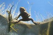 """Common toad swimming to the surface Lake of Jura France ; Feature: """"A fleur d'eau"""""""