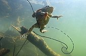 """Common toad mating and egg-laying Lake of Jura France ; Feature: """"A fleur d'eau"""""""