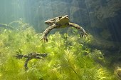 """Common toad mating in the sun Lake of JuraFrance ; Feature: """"A fleur d'eau"""""""