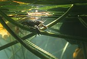 """Ecrevisse beneath the surface Lake of Jura France ; Feature: """"A fleur d'eau"""""""