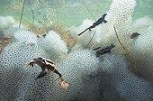 "European frogs and lay Lake of JuraFrance ; Feature: ""A fleur d'eau"""