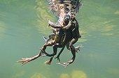 "European frogs mating Lake of JuraFrance ; Feature: ""A fleur d'eau"""