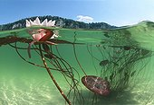 "Pink Water Lily flower Lake of Jura France ; Feature: ""A fleur d'eau"""