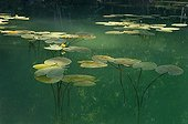 """Yellow Water Lily Flowers Lake of Jura France ; Feature: """"A fleur d'eau"""""""