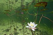 """Withe Water Lily Flowers Lake of Jura France ; Feature: """"A fleur d'eau"""""""