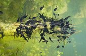 "Tadpoles eat aquatic plants Lake of Jura France ; Feature: ""A fleur d'eau"""