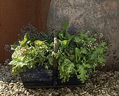 Harvest of lettuces and vegetable plants in a basket