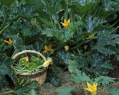 Harvest of vegetables in a basket and zucchini plants