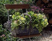 Harvest of lettuces and vegetable plants for the mesclun